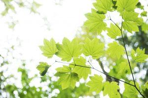 Ahorn - einer der 10 beliebtesten Bäume