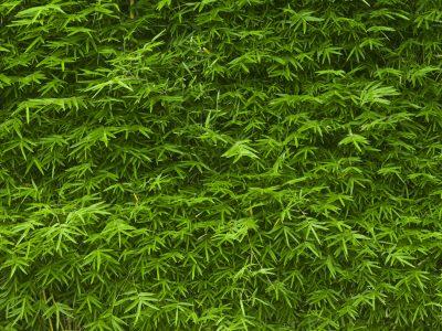 Bambus-Hecke