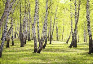 Birke - einer der 10 beliebtesten Bäume
