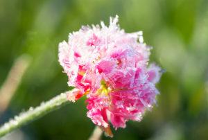 Blume mit Frost