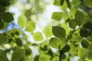 Buche - einer der 10 beliebtesten Bäume