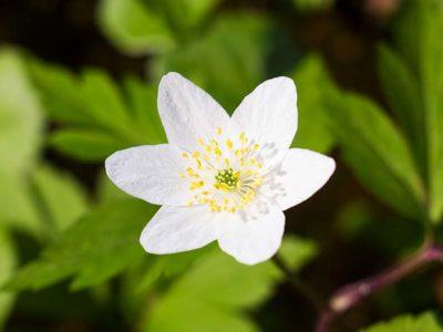 Buschwindrößchen - Hexenblume