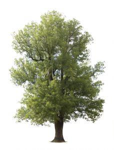 Esche - einer der 10 beliebtesten Bäume