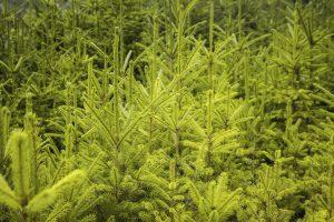 Fichte - einer der 10 beliebtesten Bäume