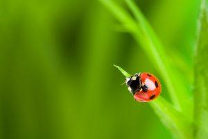 Gartenkalender April: Nützlinge – Marienkäfer