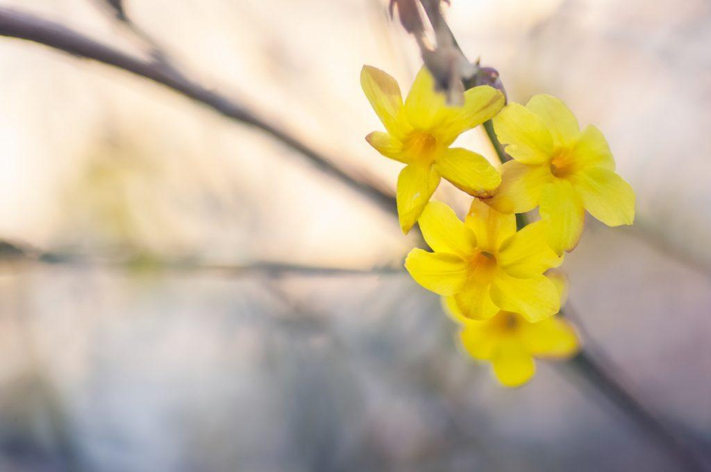 Gartenkalender Januar: Winterjasmin setzen