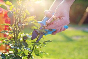 Gartenkalender März: Rosen schneiden