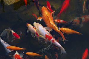 Gartenteich Fischteich