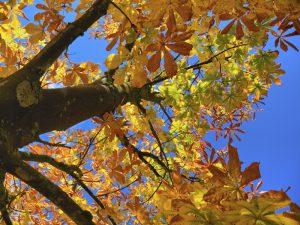 Kastanie - einer der 10 beliebtesten Bäume
