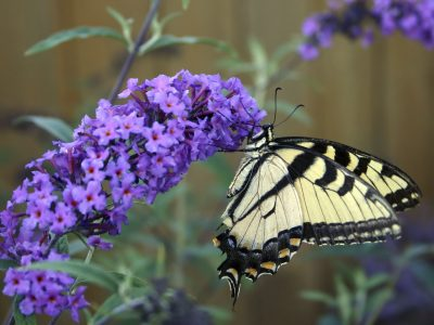Schmetterlingsstrauch - einer der Top 10 Sträucher
