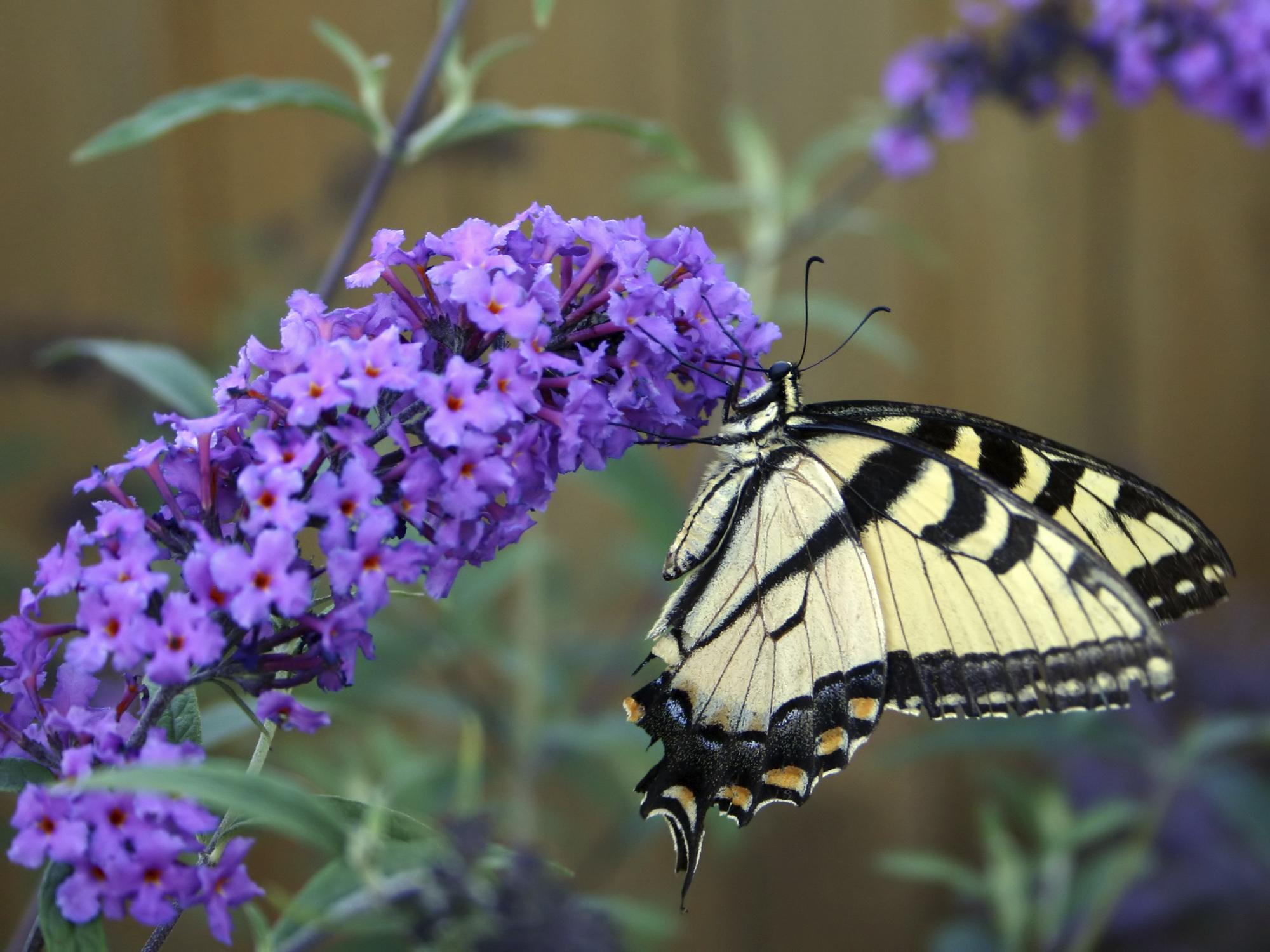 Schmetterlingsstrauch   Einer Der Top 10 Sträucher