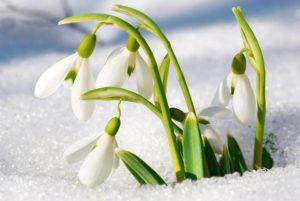 Frühblüher Schneeglöckchen