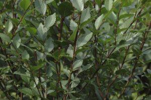Ulme - einer der 10 beliebtesten Bäume