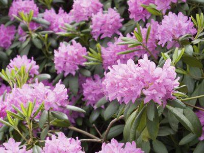 Vorfrühlings Rhododendron