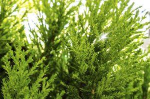 Zeder - einer der 10 beliebtesten Bäume