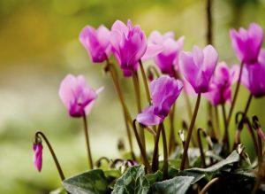 Alpenveilchen - eine der beliebtesten Gartenblumen