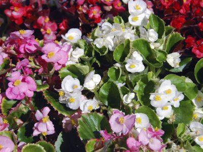 Eisbegonie - unter den TOP 10 der beliebtesten Gartenblumen