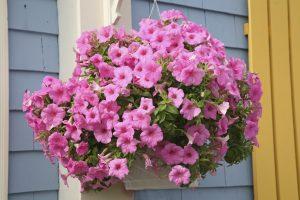 hängende Petunien als Balkonpflanzen
