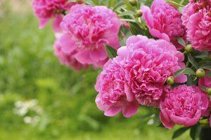 Pfingstrose - unter den beliebtesten mehrjährigen Gartenblumen im Frühjahr / Sommer
