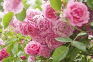 rose - die Königin unter den beliebtesten Gartenblumen