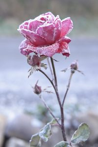 Von Frost bedeckte Rose